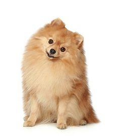 The #Pomeranian is active, busy and curious. It's very playful and confident and always ready to play. It has low exercise needs which can be satisfied by short walks or indoor play. The Pomeranian is tolerant of children but will not tolerate teasing or rough play. It tends to be yappy and aggressive towards other dogs. It's reserved towards strangers. Click here for more info on the Pomeranian!