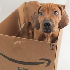 All About The Loyal Doberman Pinschers Pups Health Doberman Mix, Doberman Pinscher, Rhodesian Ridgeback, Beautiful Dogs, Animals Beautiful, Amazing Dogs, Dog Corner, Boxer Dogs, Doggies