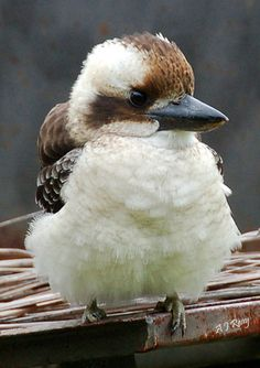 Cute Baby Kookaburra sits in the old time tree. Kinds Of Birds, All Birds, Little Birds, Love Birds, Pretty Birds, Beautiful Birds, Animals Beautiful, Baby Animals, Cute Animals