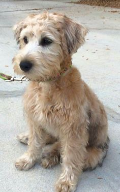 schnoodle hair cuts schnoodle haircuts my loving schnoodle aspen rh pinterest com