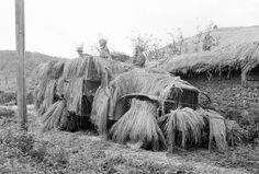Korean war - This view shows a command post somewhere in South Korea on July 1950 as American soldiers keep on the alert with their straw-covered camouflaged weapons carrier. (AP Photo/Charles P. Vietnam, Rare Historical Photos, Army Soldier, Korean War, Rare Pictures, American Soldiers, Cold War, Military History, World War Ii