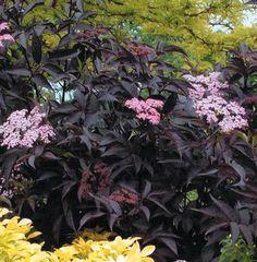 Black Beauties: 8 Favorite Dark Colored Plants - Gardenista