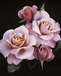 JP: Distant Drums (September Song) - Warm Tan Washed Orchid Pink Edges Cluster Floribunda/Shrub Roses