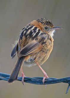 Golden Headed Cisticola (Cisticola exilis)  early morning
