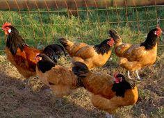 vorwerk kippen - Google zoeken