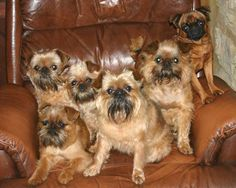 a herd of brussel griffons
