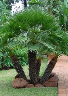 Palms and cycads are perfect for the semi-tropical garden.