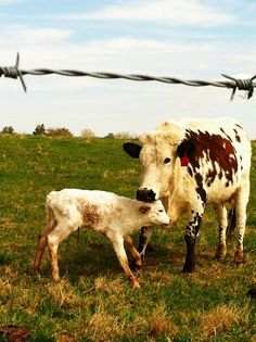 i am really loving cows these days...this is so sweet!  newly born calf with mom <3