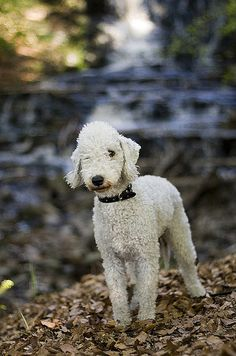 "Bedlington Terrier---we love our Bedlington, Bradley (a.k.a. Buggers!). The neighborhood kids all walk by and say ""Is that a sheep!"". I respond, ""Do sheep bark?"". But really, its a shame the name sheepdog was already taken..."