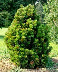 Pinus leucodermis Compact Gem - Présentation
