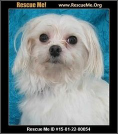 Rescue Me ID: 15-01-22-00054Irvine (male)  Maltese  Age: Young Adult  Compatibility:Good with Most Dogs, Good with Kids and Adults Personality:Average Energy, Average Temperament Health:Neutered, Vaccinations Current  I'm One of the California collection! Irvine was born about January 18, 2012 and weighs about 5lbs. He has spent his entire life, until now, sitting in a wire bottom cage 24/7 except for the few minutes he was removed to create more Maltese pups to fill orders…