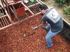 coffee bean farm - Google Search