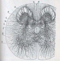 Manual-de-Histología-normal-de-D.-Santiago-Ramón-y-Cajal-001-copia