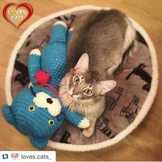 #Repost @loves.cats_ ✨Thank you for the feature✨ 久々にタグ付けたら久々のフィーチャー💕 わーいわーい(^^) ㅡㅡㅡㅡㅡㅡㅡㅡㅡㅡㅡㅡㅡㅡㅡㅡㅡㅡㅡㅡㅡㅡㅡ ⓒ ⓞ ⓝ ⓖ ⓡ ⓐ ⓣ ⓤ ⓛ ⓐ ⓣ ⓘ ⓞ ⓝ ⓢ ▬▬▬▬▬▬▬▬▬▬▬▬▬▬▬▬▬▬▬▬ ❥ Follow ☞ @LOVES.CATS_ ❣ ❥ Tag ☞ #LOVES_CATS ❣ ✩ Admin Profile ☞ @Francy_Murroni ❣ ❣ Always ...👇 ❥ Group @Loves_Team_World ❣ ❣ ✍ Loves.Team.World@gmail.com ✍ ▬▬▬▬▬▬▬▬▬▬▬▬▬▬▬▬▬▬▬▬ #にじまる #nijimalu #猫部 #ねこ #ソマリ #マンチカン #ねこ好き #にじまるfeature
