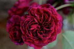 Tradescant rose