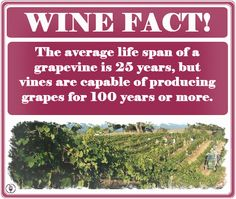 The Age of a Grapevine.