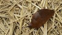 Plzák suchou slámu přelézá jen velmi nerad Snail, Compost, Snails, Slug