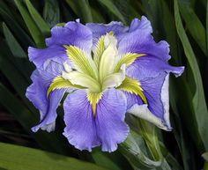 Louisiana Iris - 'Ginny's Choice'