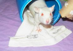 Pink Eyes Freak You Out? Rat Care, Albino, Pink Eyes, Rats, Animals, Animales, Animaux, Animal, Animais