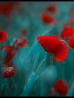 ** Poppies