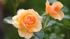 Morning Images have such a power to brighten our day when we stumble upon them! This collection features good morning quotes, all on pics of beautiful flowers. Good Morning Love, Good Afternoon, Good Morning Images, Morning Pictures, Flower Images, Flower Pictures, Plantar Rosales, Growing Roses, Rose Bush