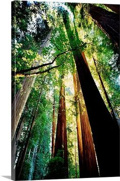 Redwoods at Sunrise, Jedediah Smith Redwoods State Park, California