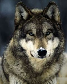 Wolves r so cool