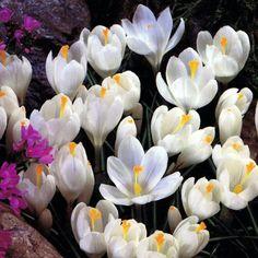Bulbi di Crocus Jeanne D'Arc. Raggiunge i 10 cm di altezza e la fioritura primaverile è precoce. Sacchetti contenenti 5 bulbi