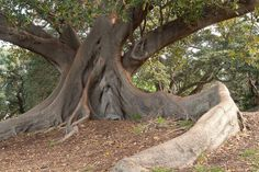 Ficus macrophylla   Botanic Gardens, Sydney Tony Rodd