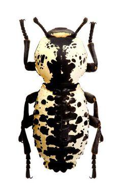 Photos - BUGS & INSECTS - Zopherus nodulosus