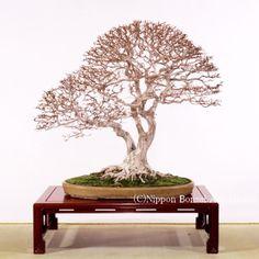 kokufu-ten bonsai