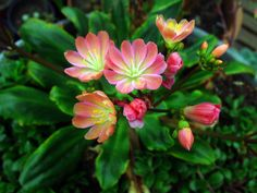 Lewisia cotyledon -- currently growing some of these. They are tough sweet little flowers