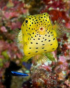 "The Real ""Spongebob"" - Yellow #Boxfish"