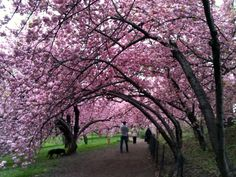 Cherry Blossoms in bloom along the bridle path in Central Park NYC... me and my Calie walked here together every morning in the springtime!