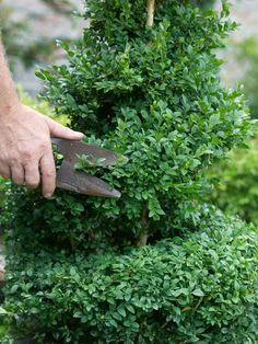 creating a boxwood topiary, gradually round off edges for winding tube look