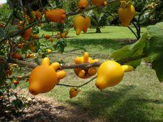 Solanum Mammosum - A member of the Potato/Tomato family