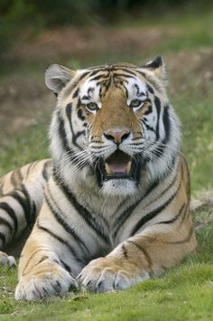 Mike the Tiger's expression when he found out LSU was not in the BCS championship this year
