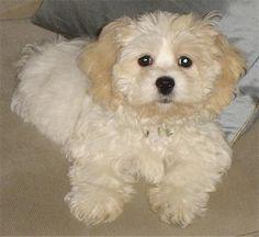 zuchon (shichon or teddybear)  soooo cute!