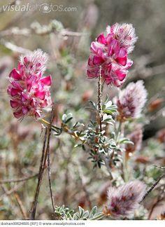 French honeysuckle (Hedysarum coronarium) Flowering period June-July