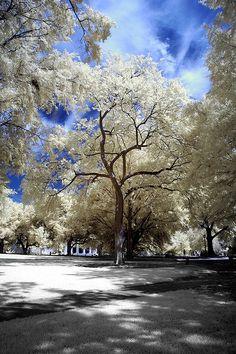 Tree at USC Horseshoe