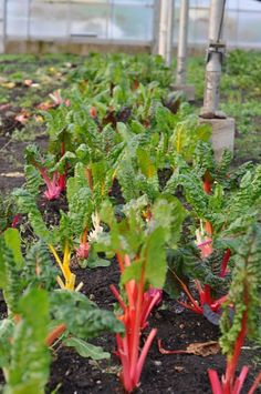 rainbow chard this summer Rainbow Chard, Allotments, Superfoods, Rainbow Colors, Vegetable Garden, Outdoor Gardens, Weed, Natural Beauty, Lost