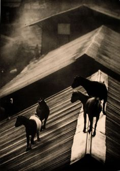 Goats on the rooftop, 1954...LOL remember when all our goats were on the barn roof?  LOL  We were all freaking out.......