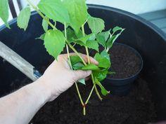 Superenkelt å ta stikling av skjærsmin fra oldemors hage Planting, Gardening, Plants, Garten, Lawn And Garden, Horticulture