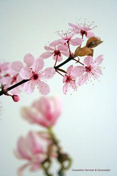 Kersenbloesem of prunus met magnolia in een vaas. #sakura