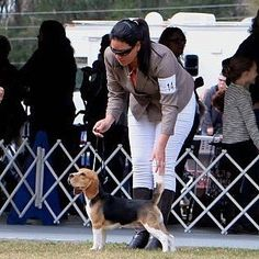 Ella es mi hermana Carlota en una competencia en Estados Unidos... She is my sister Charlotte in a USA competition with the best handler ever @jessicabrigante #donpepito #dog #puppy #puppiesxdogs #puppyforall #puppyofinstagram #petsofinstaworld #whosepet #dogdoodledo #beagle #beaglemasters #beagleforall #instagrambeagles #justbeagle #beagleloveit #beaglesofinstagram #beagleworld_feature #beagles_features #beagleslover #lacyandpaws  #dog_features #sendadogphoto by el_don_pepito