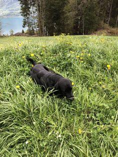 Family Dogs, Arrow, Hiking Boots, Labrador, Animals, Animales, Animaux, Labradors, Animal