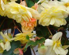 b gonia retombant belleconia apricot blush fleurs pinterest. Black Bedroom Furniture Sets. Home Design Ideas