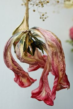 Dried Tulip by kcl_in_pdx, via Flickr