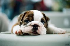 The kind of ultra cute, wrinkly face I could easily kiss until the end of time. <3 #dogs #puppies #bulldogs #animals