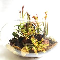 Pitcher plants and venus fly traps make up this lost world terrarium - 51cm diameter. by fleurieugifts